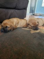 English Mastiff Puppies for sale in Grass Valley, CA, USA. price: NA