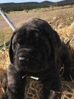 English Mastiff Puppies for sale in Walsenburg, CO 81089, USA. price: NA