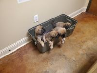 English Mastiff Puppies for sale in Pelahatchie, MS, USA. price: NA