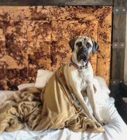 English Mastiff Puppies for sale in Sneads Ferry, NC 28460, USA. price: NA