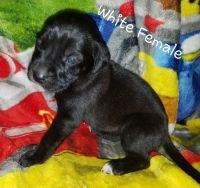 English Mastiff Puppies for sale in Mancelona, MI 49659, USA. price: NA