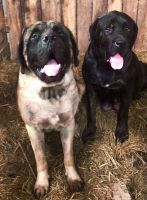 English Mastiff Puppies for sale in Ashland, KY, USA. price: NA