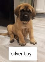 English Mastiff Puppies for sale in South Bend, IN, USA. price: NA