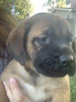 English Mastiff Puppies for sale in Meredosia, IL 62665, USA. price: NA
