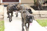 English Mastiff Puppies for sale in Prairieville, LA 70769, USA. price: NA