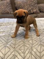 English Mastiff Puppies for sale in Metamora, MI 48455, USA. price: NA