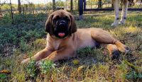 English Mastiff Puppies for sale in Howe, TX, USA. price: NA