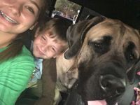 English Mastiff Puppies for sale in Summerville, SC, USA. price: NA