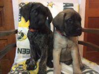 English Mastiff Puppies for sale in Calumet, MI 49913, USA. price: NA