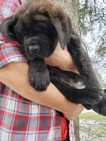 English Mastiff Puppies for sale in Withee, WI 54498, USA. price: NA