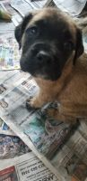 English Mastiff Puppies for sale in Ste. Genevieve, MO 63670, USA. price: NA