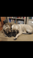 English Mastiff Puppies for sale in Thayer, MO 65791, USA. price: NA