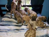 English Mastiff Puppies Photos