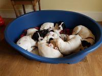 English Pointer Puppies Photos
