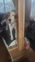 English Setter Puppies for sale in Morrice, MI 48857, USA. price: NA