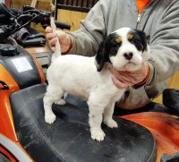 English Setter Puppies for sale in Mt Sterling, KY 40353, USA. price: NA