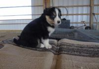 English Shepherd Puppies for sale in Boise, ID, USA. price: NA