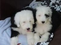 English Shepherd Puppies for sale in Los Angeles, CA, USA. price: NA
