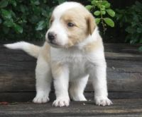 English Shepherd Puppies for sale in East Los Angeles, CA, USA. price: NA