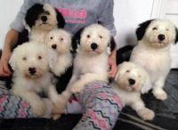 English Shepherd Puppies for sale in Austin, TX, USA. price: NA