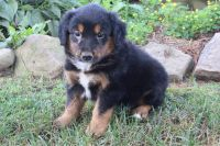 English Shepherd Puppies for sale in Canton, OH, USA. price: NA