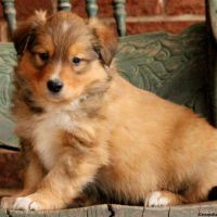 English Shepherd Puppies for sale in Campus Drive, Stanford, CA 94305, USA. price: NA