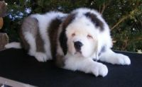 English Shepherd Puppies for sale in Virginia Beach, VA, USA. price: NA