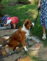 English Shepherd Puppies for sale in Gilbert, SC, USA. price: NA