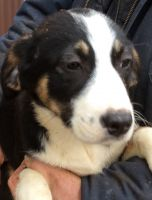 English Shepherd Puppies for sale in Butler, OH 44822, USA. price: NA