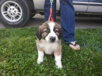 English Shepherd Puppies for sale in Toledo, OH, USA. price: NA