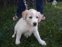 English Shepherd Puppies Photos