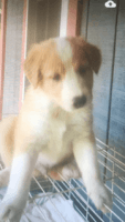 English Shepherd Puppies for sale in Henderson, NC, USA. price: NA