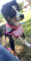 English Shepherd Puppies for sale in Custer Park, IL 60481, USA. price: NA