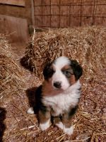 English Shepherd Puppies for sale in 648 W 1400 N, North Manchester, IN 46962, USA. price: NA