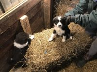 English Shepherd Puppies for sale in 17441 E Huffer Rd, Hope, IN 47246, USA. price: NA