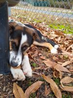 English Shepherd Puppies for sale in Norwood, NC 28128, USA. price: NA