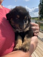 English Shepherd Puppies for sale in Iron City, TN 38463, USA. price: NA