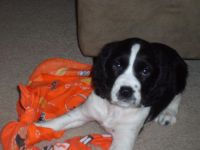 English Springer Spaniel Puppies for sale in Norwalk, OH, USA. price: NA