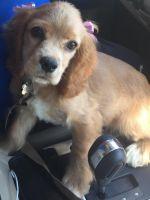 English Springer Spaniel Puppies for sale in Miami, FL, USA. price: NA