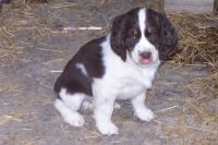 English Springer Spaniel Puppies for sale in Springfield, MA, USA. price: NA
