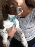 English Springer Spaniel Puppies for sale in Minneapolis, MN, USA. price: NA