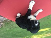 English Springer Spaniel Puppies for sale in Little Rock, AR, USA. price: NA