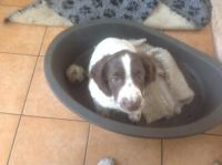 English Springer Spaniel Puppies for sale in Montgomery, AL, USA. price: NA