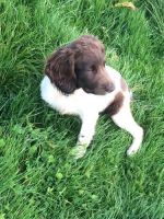 English Springer Spaniel Puppies for sale in Simi Valley, CA, USA. price: NA