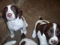English Springer Spaniel Puppies for sale in Washington, DC, USA. price: NA