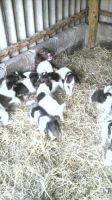 English Springer Spaniel Puppies for sale in Stamford, CT, USA. price: NA