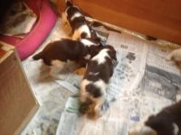 English Springer Spaniel Puppies for sale in Tallahassee, FL, USA. price: NA