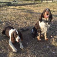 English Springer Spaniel Puppies for sale in Cheyenne, WY, USA. price: NA