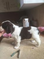English Springer Spaniel Puppies for sale in Sacramento, CA, USA. price: NA