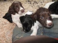 English Springer Spaniel Puppies for sale in Tampa, FL, USA. price: NA